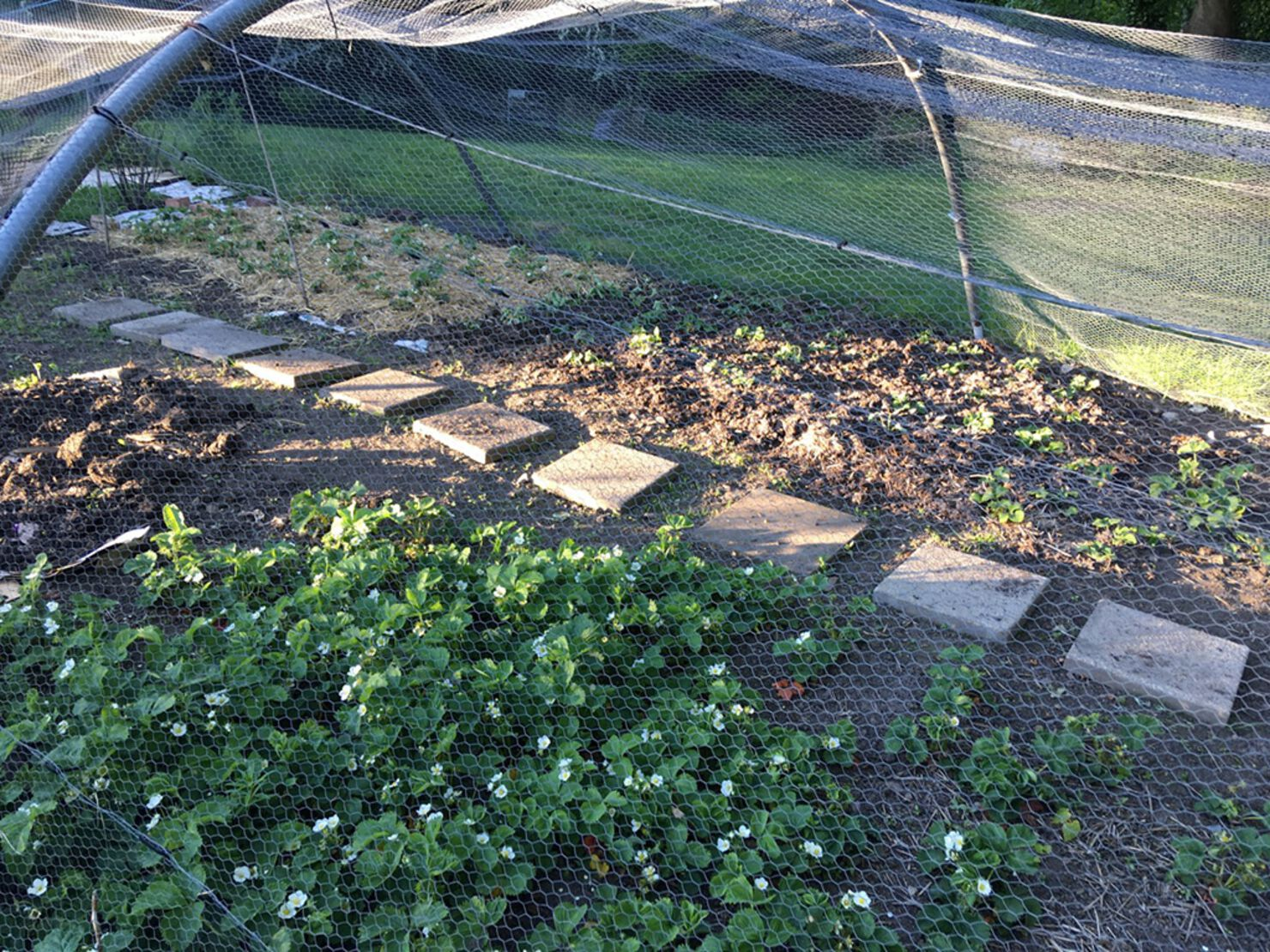 Weeded, tidied, thinned out and replanted strawberry plants.